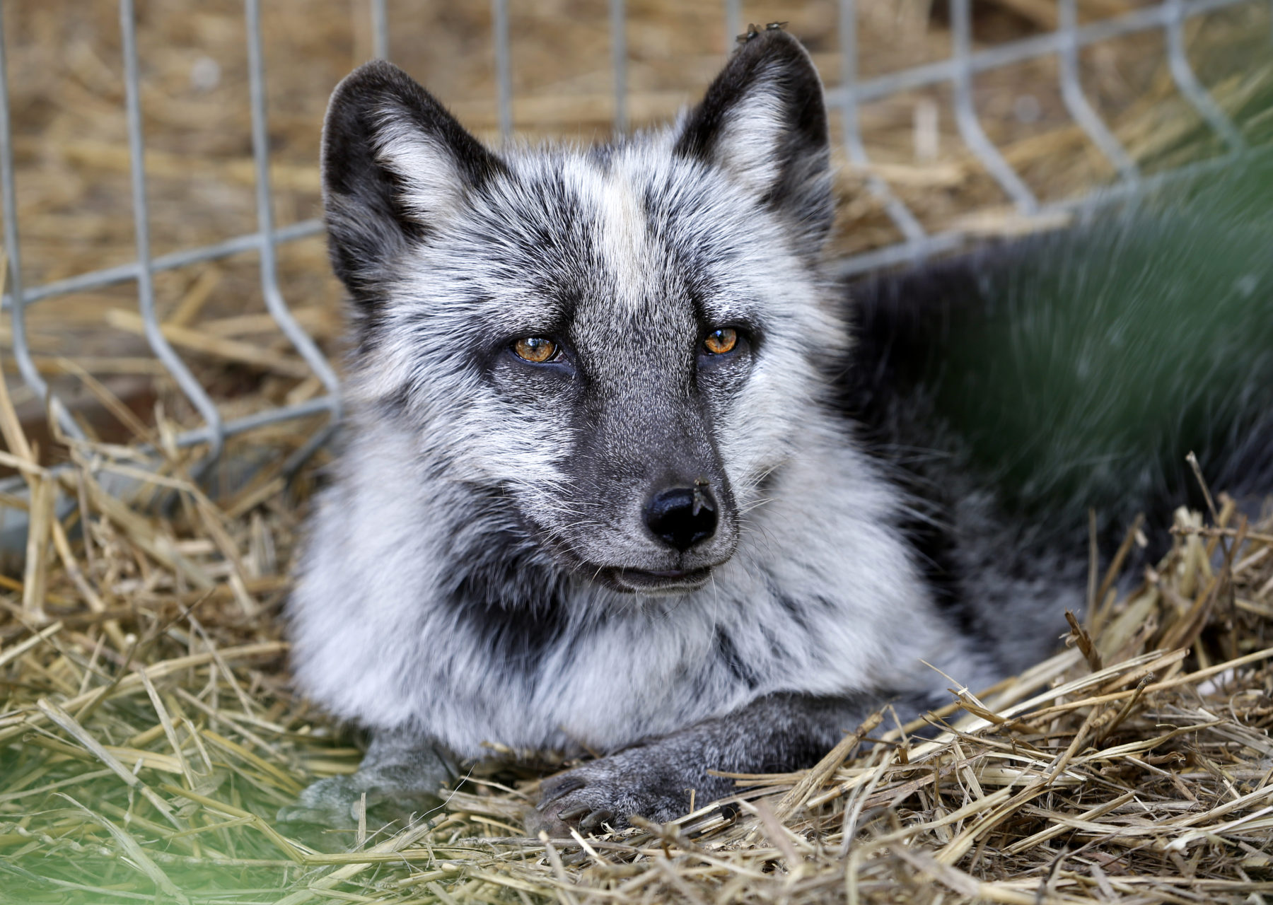 FOXES RESCUED FROM A FUR FARM
