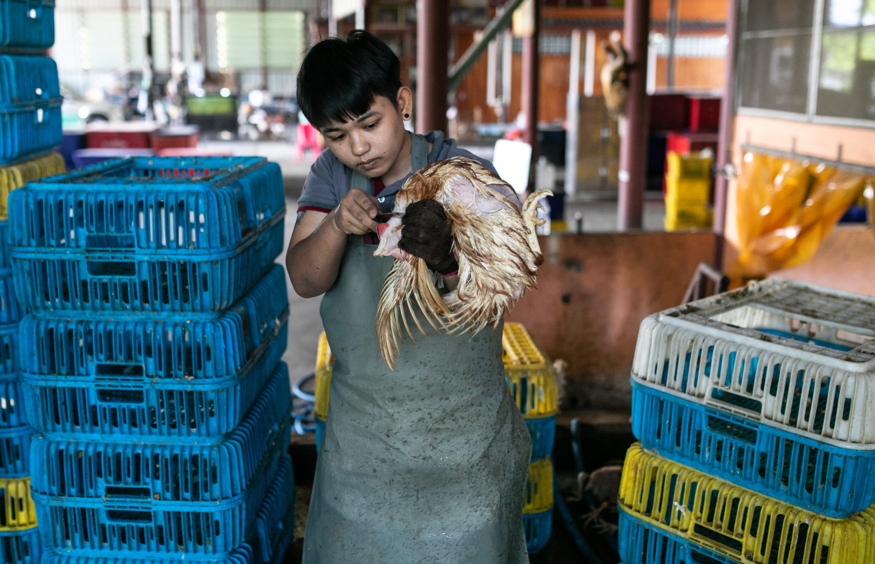 LAYING HENS – SLAUGHTERHOUSE IN BANGKOK