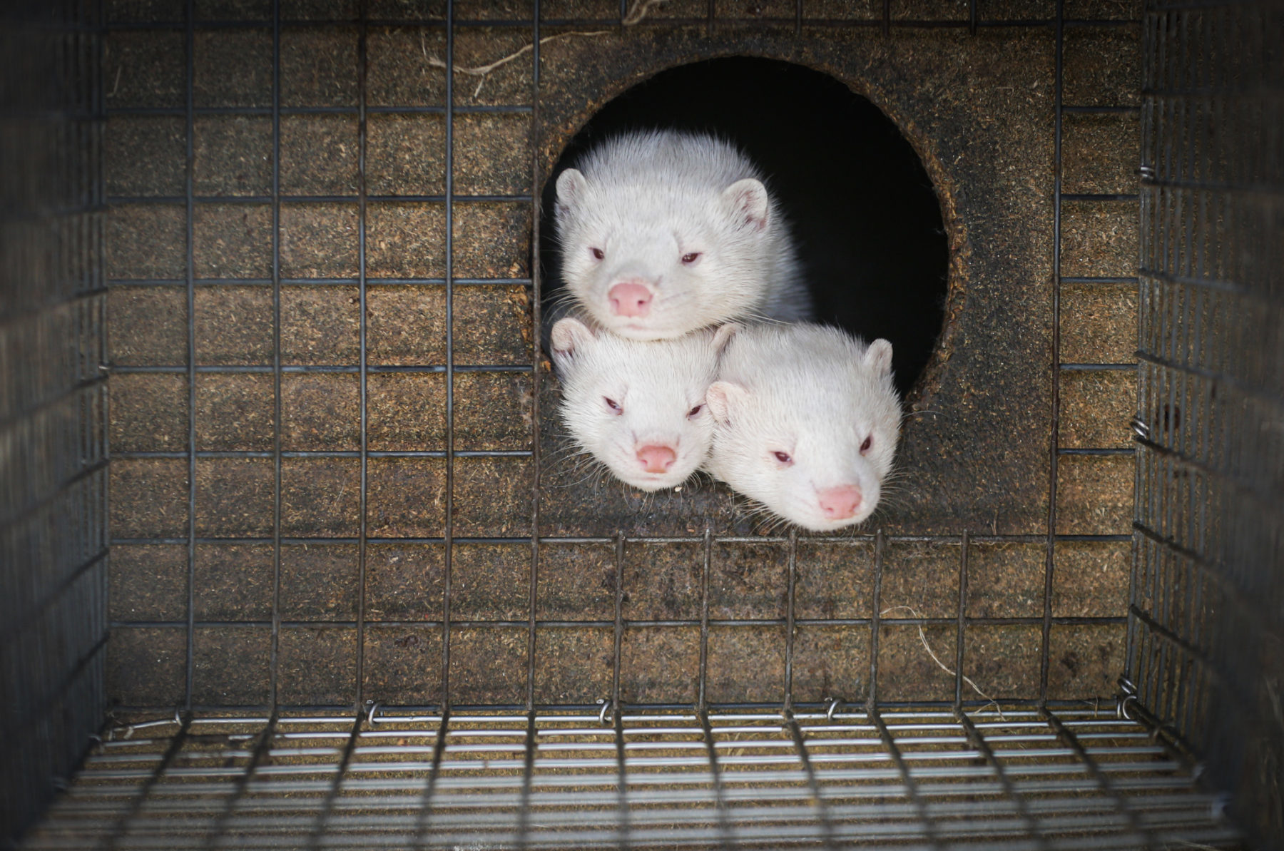 MINKS – FUR FARM
